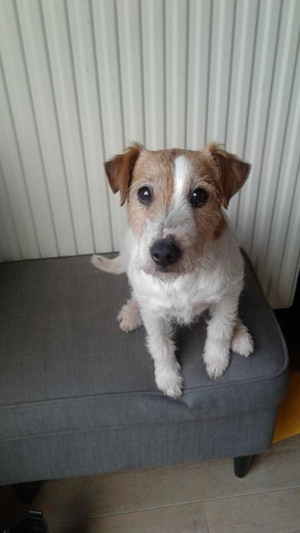 Suzan's Pride, Parson Russell Terriers, Jack Russell Terriers